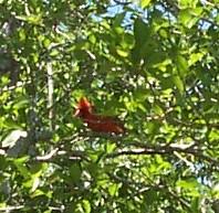 cardinal_4-20